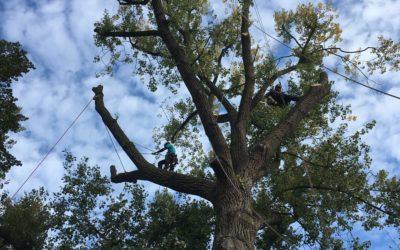 abattage-arbre-malade-centenaire-demontage